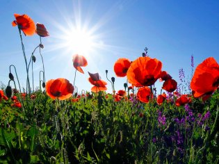 unsplash-free-image-poppy-fieldb